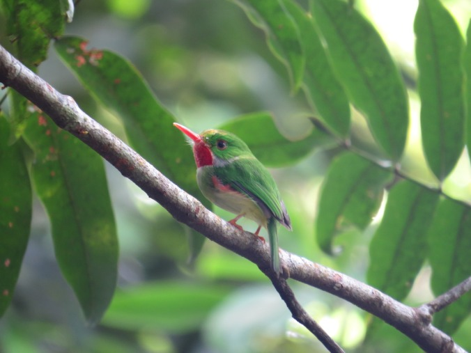 Jamaican Tody by Seth Inman - La Paz Group