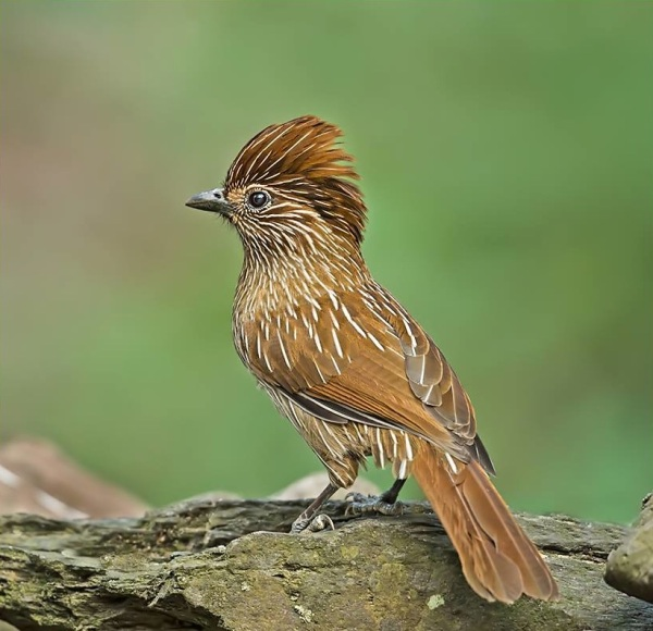 Striated Laughing Thrush by Dr. Eash Hoskhote - RAXA Collective