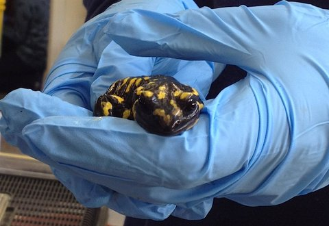 A healthy fire salamander from a captive-bred collection at a British zoo. Other specimens were infected with a fungus that has already devastated salamanders in continental Europe and could spread to North America.Credit Pria N. Ghosh
