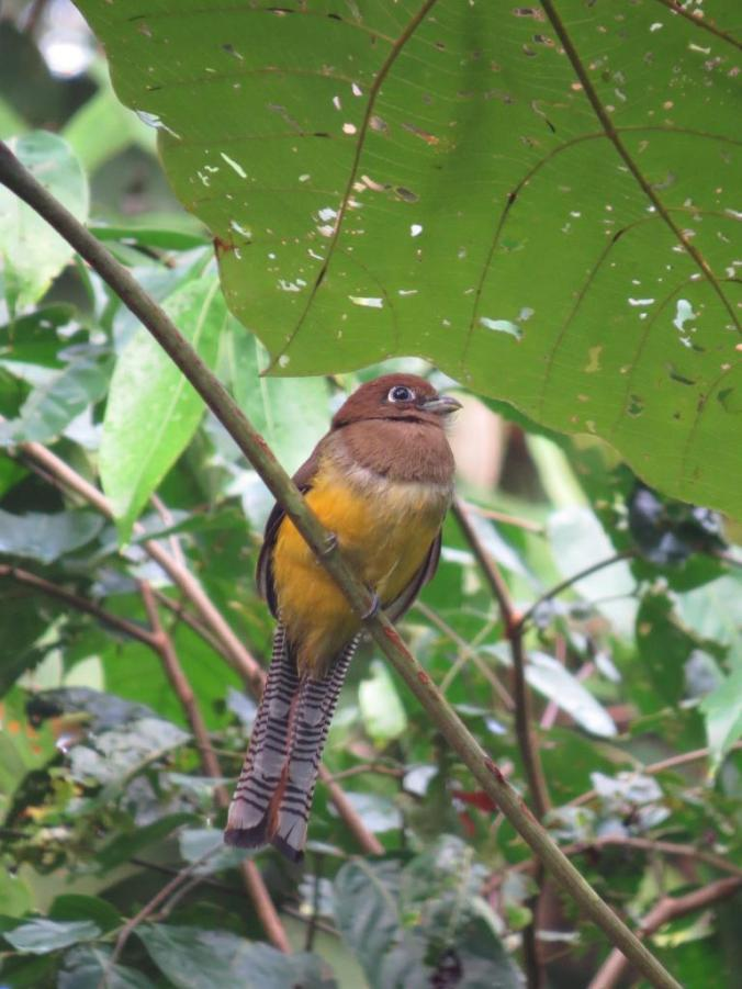 Black-throated Trogon by Seth Inman - La Paz Group