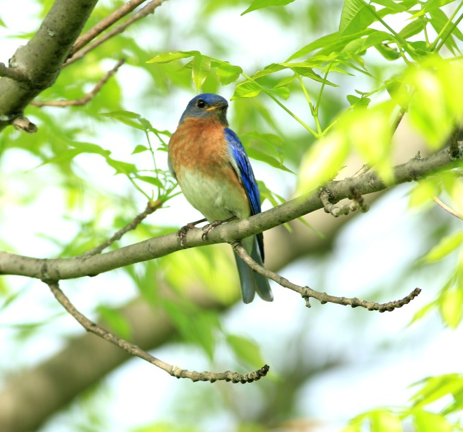 Eastern Bluebird by Justin Proctor - La Paz Group