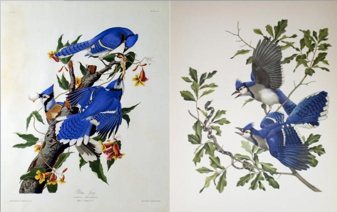 Blue Jays. Left: John James Audubon; Right: Athos Menaboni
