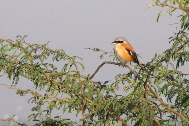 Long-tailed Shrike by Shailee Shah - La Paz Group