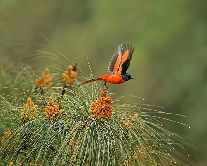 long-tailed minivet by Dr. Eash Hoskote - La Paz Group