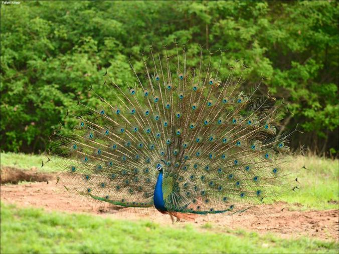 Peacock by Pallivar Kaiwar - La Paz Group