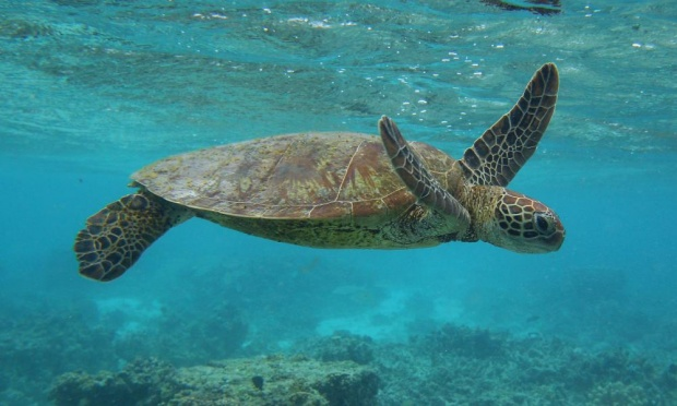 Forty per cent of the small turtles travelling through Moreton bay were recently found to have consumed plastics and more than two-thirds of the endangered loggerhead turtle, too. PHOTO: Mark Kolbe/Getty Images