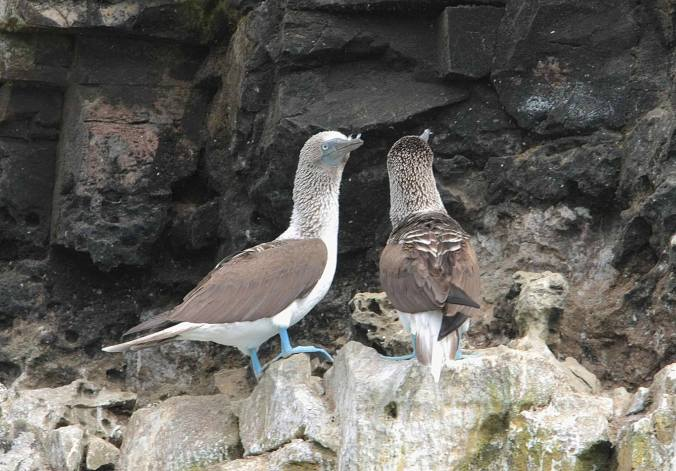 Blue-footed Booby by Ben Barkely - La Paz Group