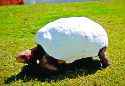 Fred the tortoise received a 3D printed shell after a horrific fire destroyed his original. PHOTO: 3DPrint