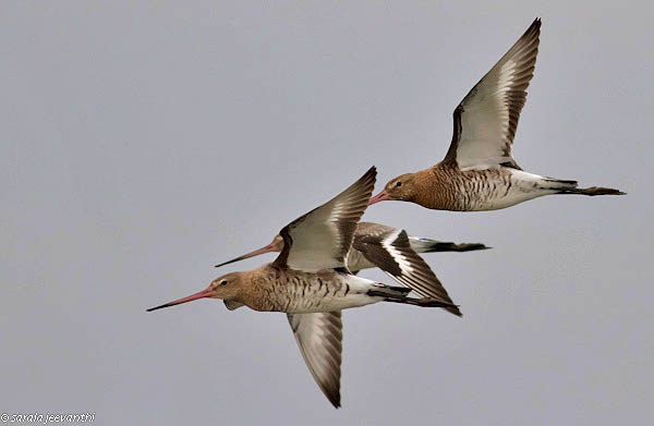 A godwit made international headlines in 2007 when she was confirmed to have flown for seven days and nights without stopping to a feeding ground in China. That was the longest nonstop flight by a land bird ever recorded. PHOTO: Wikimedia Commons