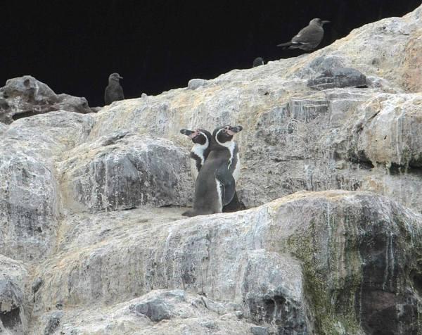 Humboldt Penguin by Ben Barkley - RAXA Collective
