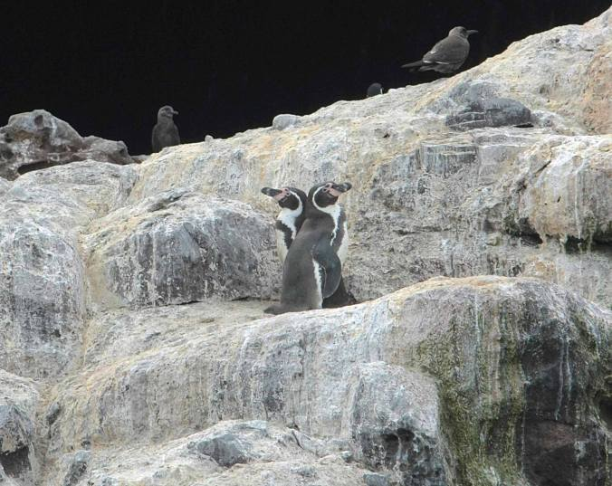 Humboldt Penguin by Ben Barkley - La Paz Group