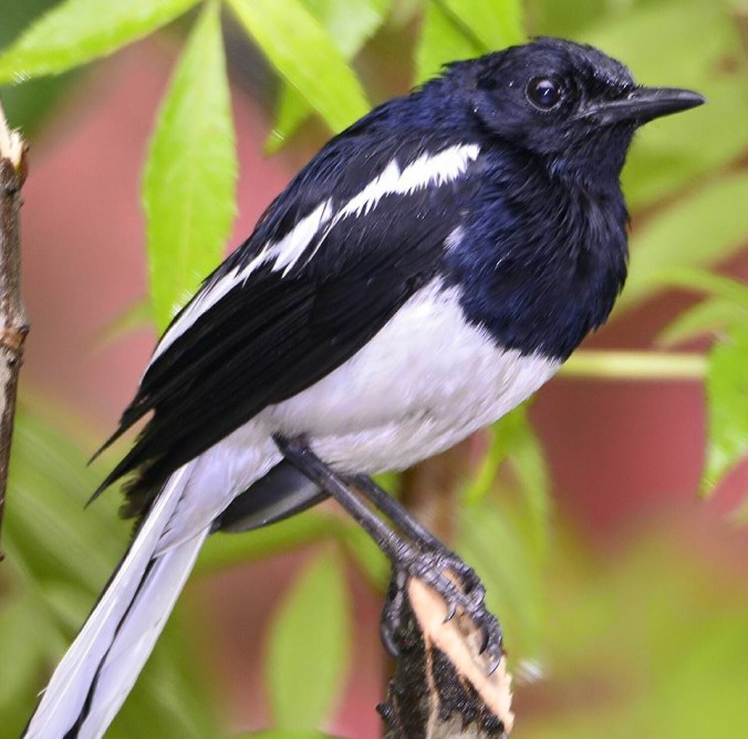 Oriental magpie-robin by Vijaykumar Thondoman - La Paz Group
