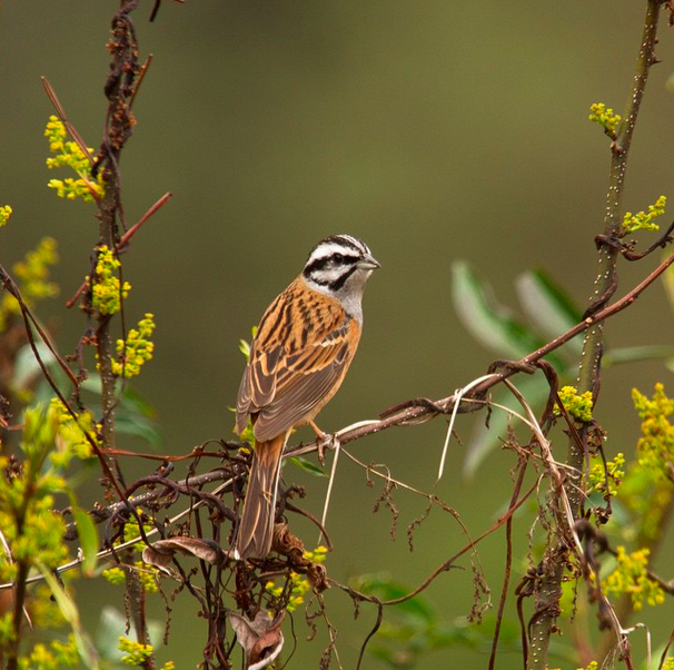 Rock Bunting by Shailee Shah - La Paz Group