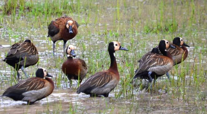 White-faced Whistling Ducks by Andrew Murphy - La Paz Group