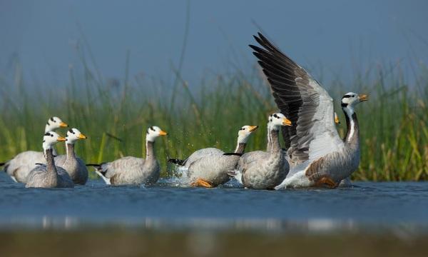 Bar-headed Geese by Sudhir Shivaram - RAXA Collective