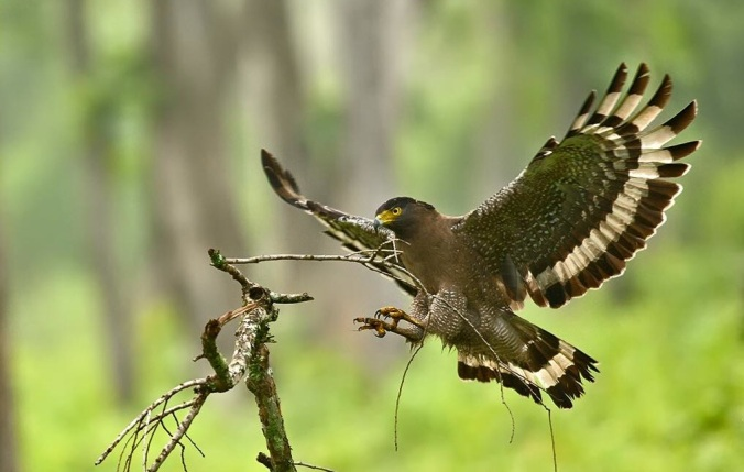 Crested Serpent Eagle by Pallavi  Kaiwar - La Paz Group