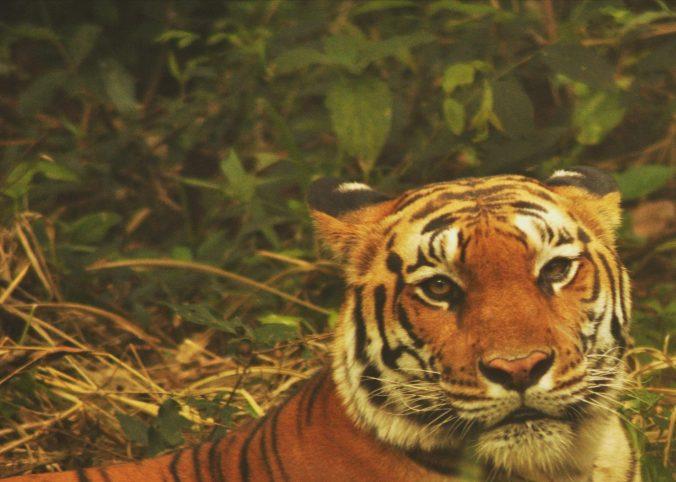 A captive tiger at Bannerghatta National Park, Bengaluru, India. PHOTO: Rosanna Abrachan