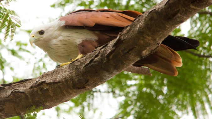 Brahmini kite by Pawan Ranga - La Paz Group