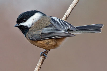 The chickadee makes at least 15 different calls to communicate with its flock-mates and offspring. PHOTO: Nature Mapping Foundation