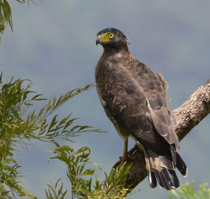 Crested Serpent Eagle by Vijaykumar Thonadan - La Paz Group