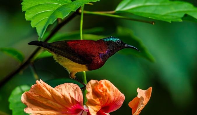 Crimson-backed Sunbird by Sudhir Shivaram - La Paz Group