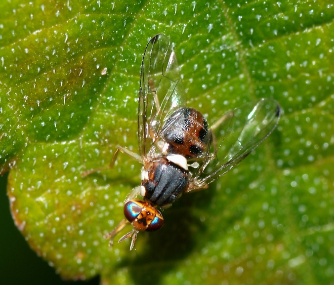 Every year in Catalonia, Spain, farmers have to fight the olive fruit flies so they don't ruin the year's crop. PHOTO: Wikipedia