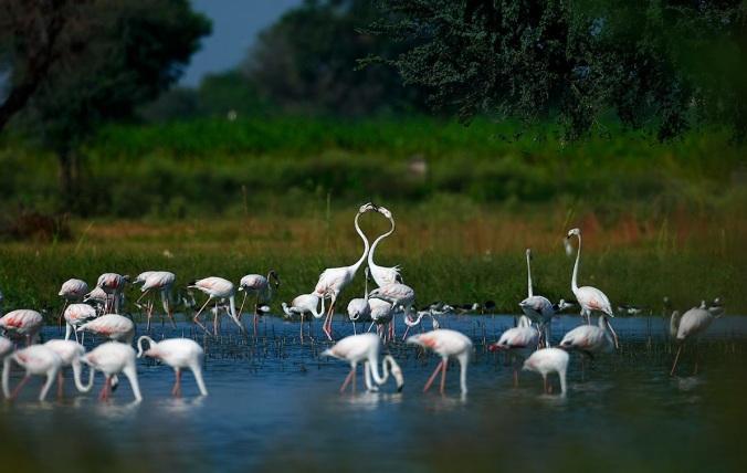Greater Flamingos by Sudir Shivaram - La Paz Group