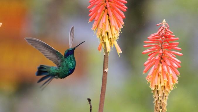 Sparkling Violetear by Justin Proctor - La Paz Group