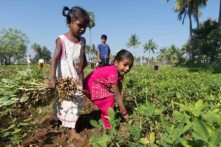 Kindergarten students helping out with the peanut harvest. PHOTO: Vikalp Sangam