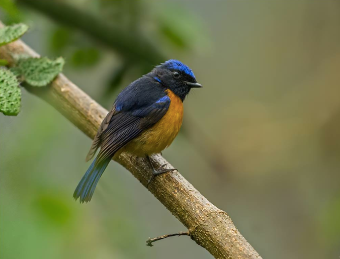 Rufous-bellied Niltava by Dr. Eash Hoskote - La Paz Group