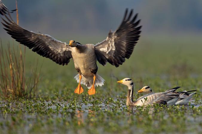 Bar-headed Geese by Sudhir Shivaram - La Paz Group