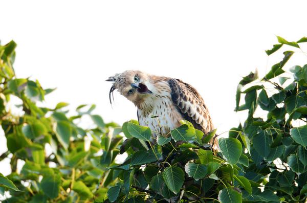 Crested Hawk Eagle by Sudhir Shivaram - RAXA Collective