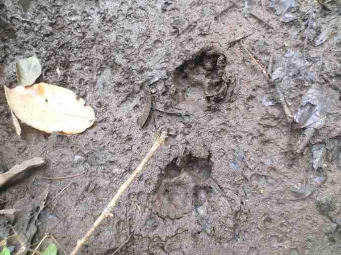 Leopard Paw Prints, Periyar Tiger Reserve