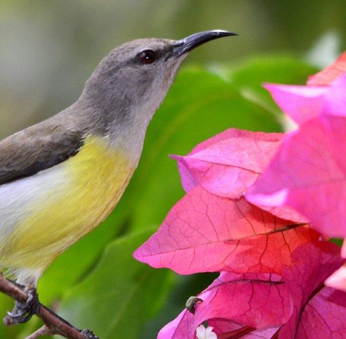 Purple-rumped Sunbird by Vijaykumar Thondaman - La Paz Group