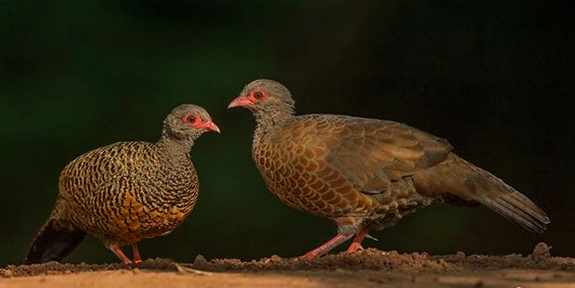Red Spurfowl pair by Dr. Eash Hoskote - La Paz Group