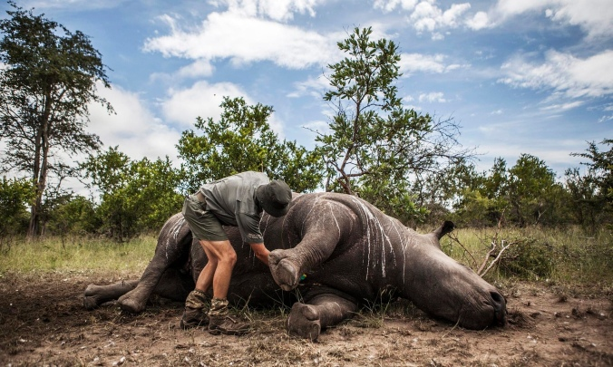 An investigator prepares the carcass of a rhino killed for its horn for postmortem in the Kruger national park. PHOTO: Salym Fayad/EPA