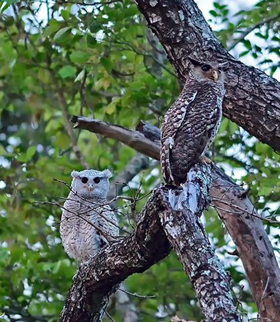 Spot-bellied Eagle Owl, Adult and Juv by Pallavi Kaiwar - La Paz Group