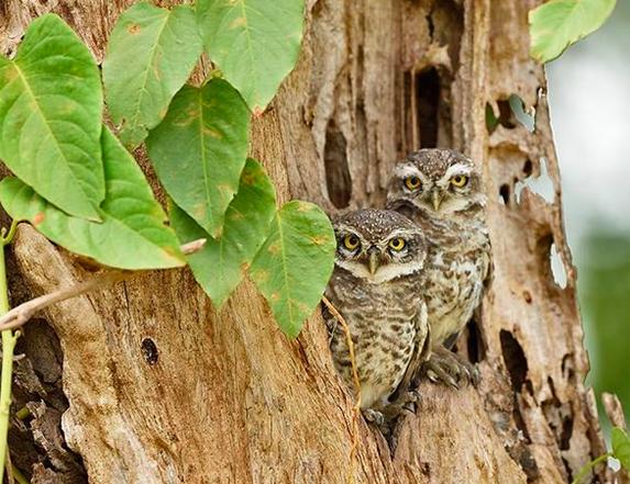 Spotted Owlets by Pallavi Kaiwar - La Paz Group