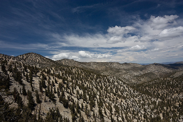 An ancient 4,800-year-old Great Basin Bristlecone Pine, the Methuselah Tree grows high in the White Mountains of eastern California. PHOTO: AGrinberg Creative Commons