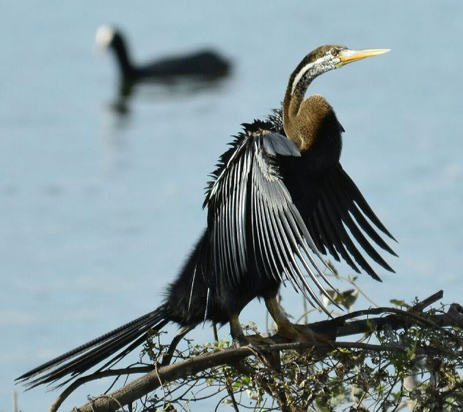 Anhinga by Vijaykumar Thondaman - La Paz Group