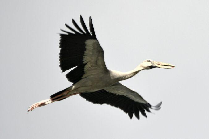 Asian Open-billed Stork by Vijaykumar Thondaman - La Paz Group