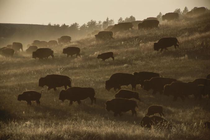 Bison, like these at Custer State Park, in South Dakota, were central to the Plains Indians. But when the U.S. National Parks Service tried to reintroduce them to Lakota lands, it tore the community apart.  PHOTO: SARAH LEEN, NATIONAL GEOGRAPHIC CREATIVE