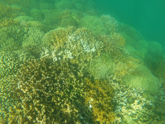Partially bleached coral in Kaneohe, Hawaii. Coral reefs worldwide are at risk of damage from the suncscreen ingredient oxybenzone. PHOTO: AP