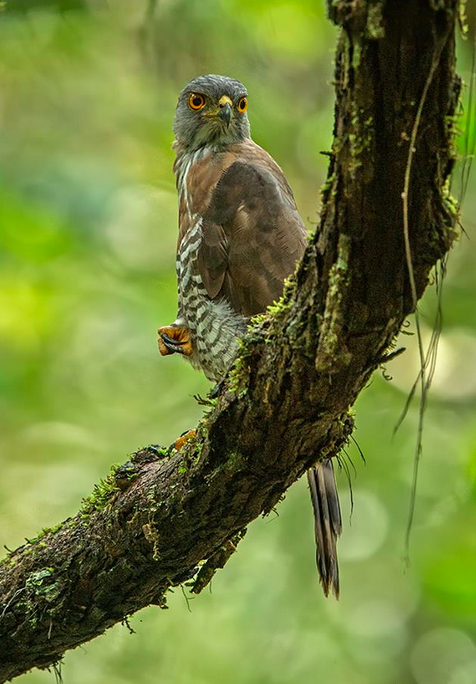 Crested Gowshawk by Dr. Eash Hoskote - La Paz Group