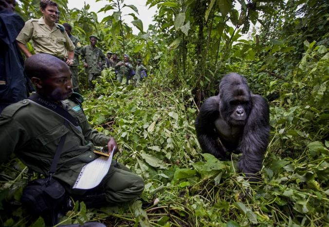 In November 2008, conservation authorities in the DRC had their first sighting of a mountain gorilla in more than 15 months. Because of the commitment and bravery of its rangers, the gorilla population is now estimated to be 880. PHOTO: BRENT STIRTON, GETTY