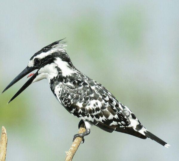 Pied kingfisher by Vijaykumar Thondaman - RAXA Collective