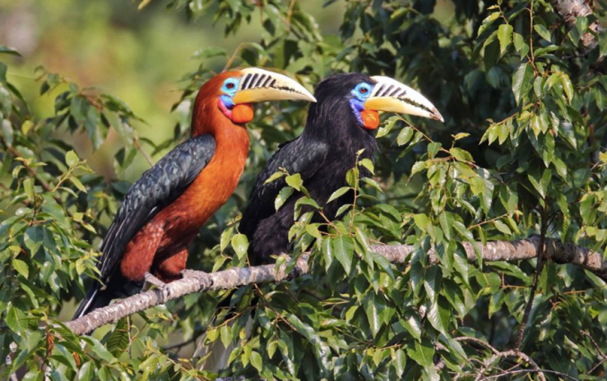 Rufous-necked Hornbills by Gururaj Moorching - La Paz Group