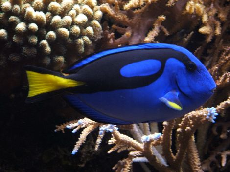1024px-blue_tang_28paracanthurus_hepatus29_02
