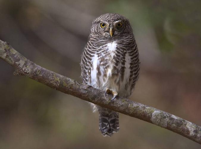 Asian Barred Owlet by Gururaj Moorching - La Paz Group