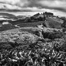 Coffee fields in Brazil during flowering season. PHOTO: Sebastiao Salgado